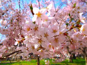 cherry-blossom-petals